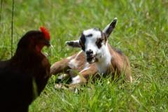biquette et poule